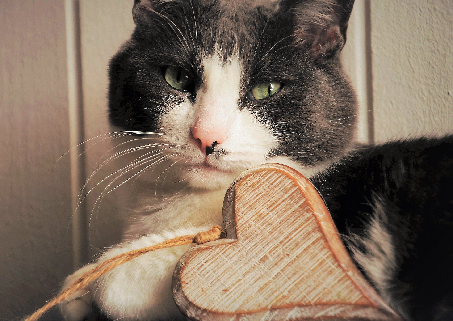 grey and white cat with wooden heart